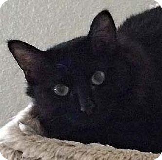Manx Cat for adoption in Tiburon, California - Dori
