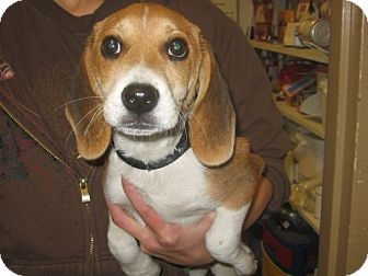 Beagle Puppy for adoption in Kankakee, Illinois - Copper