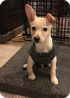 Terrier (Unknown Type, Small) Mix Puppy for adoption in Tumwater, Washington - Tom