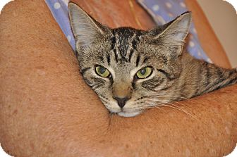 Domestic Shorthair Cat for adoption in New Smyrna Beach, Florida - SOLA (low fee)