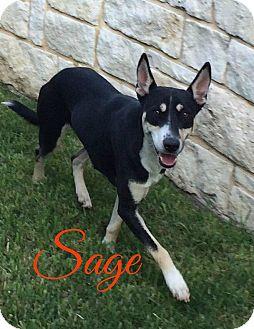Carolina Dog Mix Puppy for adoption in Cranston, Rhode Island - Sage 2.0 (fostered in Maine)