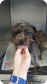 Terrier (Unknown Type, Small) Mix Dog for adoption in Brownsville, Texas - Pooka