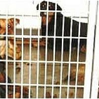 Adopt A Pet :: Lancaster Dogs - Harbor City, CA