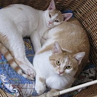 Adopt A Pet :: Apricot and Buttercup - St. Paul, MN