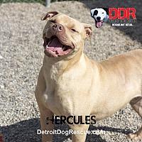 Adopt A Pet :: Hercules - St. Clair Shores, MI