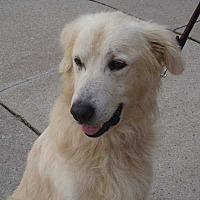 Adopt A Pet :: Sawyer - Minnetonka, MN