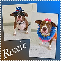 Adopt A Pet :: Roxie - Pawsitive Direction - Loxahatchee, FL