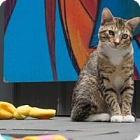 Adopt A Pet :: Marcel - New York, NY