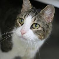 Adopt A Pet :: Hobie - Williamsburg, VA