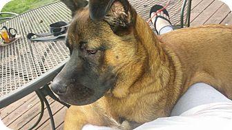 Akita/German Shepherd Dog Mix Dog for adoption in Seguin, Texas - Bear