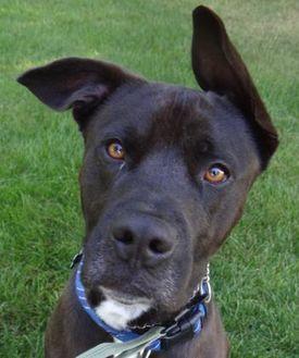 Labrador Retriever Mix Dog for adoption in Yakima, Washington - Jetter