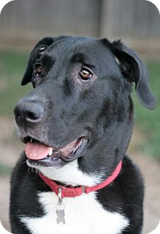 Great Dane/Great Pyrenees Mix Dog for adoption in Stafford, Virginia - Biggie Smalls