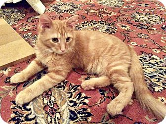 Domestic Mediumhair Kitten for adoption in Beaufort, South Carolina - Butters