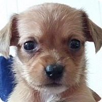 Cairn Terrier Mix Puppy for adoption in Seattle, Washington - Minnie Hicks