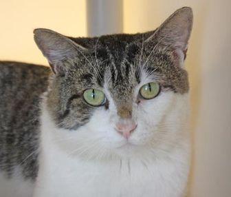 Domestic Shorthair/Domestic Shorthair Mix Cat for adoption in Harrisonburg, Virginia - Kronk
