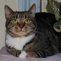Domestic Shorthair Cat for adoption in Oyster Bay, New York - Eenie
