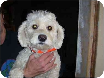 Bichon Frise/Poodle (Miniature) Mix Dog for adoption in Millerton, Pennsylvania - Bichon mix
