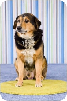 Australian Shepherd/German Shepherd Dog Mix Dog for adoption in Portland, Oregon - Tank