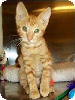 Domestic Shorthair Kitten for adoption in Cedar Creek, Texas - Tritan