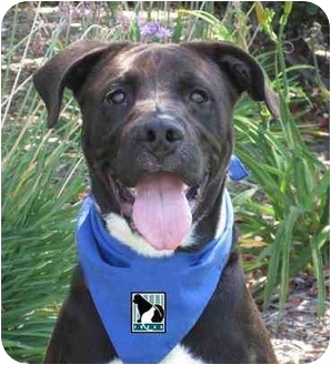 Labrador Retriever/American Pit Bull Terrier Mix Puppy for adoption in San Diego, California - Bronson