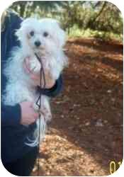 Maltese Dog for adoption in Rossford, Ohio - ANNIE