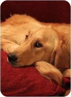 Golden Retriever Dog for adoption in Wichita, Kansas - Sandy