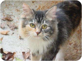 Calico Kitten for adoption in Metamora, Indiana - Cali
