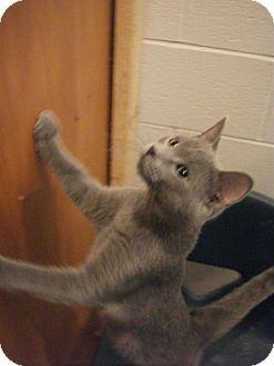 Domestic Shorthair Cat for adoption in Richmond, Missouri - Grady