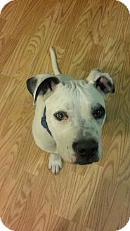 American Bulldog Mix Puppy for adoption in Claypool, Indiana - Zeus