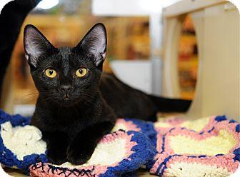 Domestic Shorthair Cat for adoption in Farmingdale, New York - Katrina