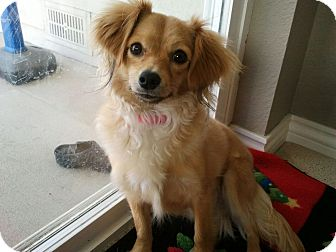 Chihuahua/Dachshund Mix Puppy for adoption in Broomfield, Colorado - AbbyLou