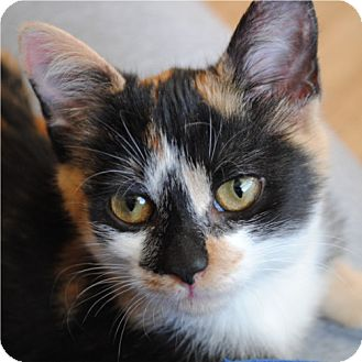 Domestic Shorthair Kitten for adoption in Weatherford, Texas - Suzie