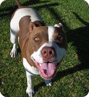 Pit Bull Terrier Dog for adoption in El Cajon, California - Bolt