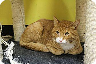 Domestic Shorthair Cat for adoption in Mobile, Alabama - Sorcerer