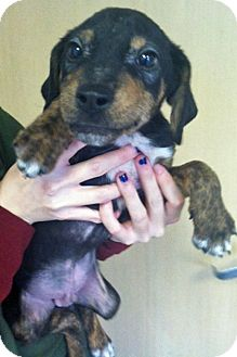 Boxer/Hound (Unknown Type) Mix Puppy for adoption in Gahanna, Ohio - ADOPTED!!!   Tommy