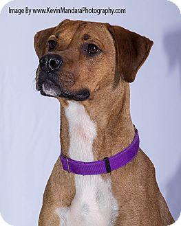 Rhodesian Ridgeback/Boxer Mix Dog for adoption in Pompton Lakes, New Jersey - BonBon