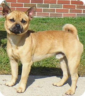 Chihuahua/Pug Mix Dog for adoption in Washington Court House, Ohio - Kyler