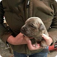 Adopt A Pet :: Un-named Puppy - Owasso, OK