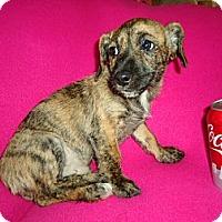 Adopt A Pet :: Tiger - Allentown, PA