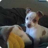 Adopt A Pet :: Ivan - Gilbert, AZ