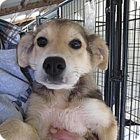 Adopt A Pet :: Bear (ADOPTED!) - Chicago, IL