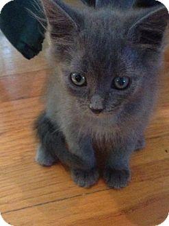 Domestic Shorthair Kitten for adoption in Lancaster, Massachusetts - Misty