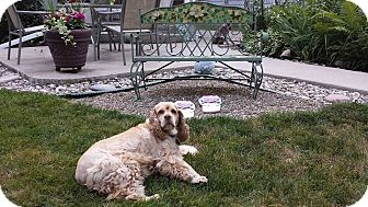 Cocker Spaniel Mix Dog for adoption in Mentor, Ohio - Abby 8yr Adopted