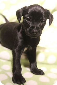 Cocker Spaniel/Patterdale Terrier (Fell Terrier) Mix Puppy for adoption in Hagerstown, Maryland - Kahuna