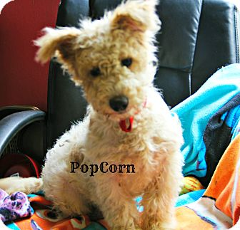 Fox Terrier (Wirehaired)/Poodle (Miniature) Mix Puppy for adoption in New Orleans, Louisiana - Popcorn
