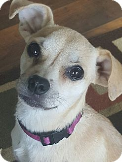 Chihuahua/Miniature Pinscher Mix Dog for adoption in Olympia, Washington - Wiggles
