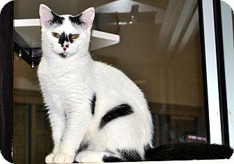 American Shorthair Cat for adoption in Aiken, South Carolina - Ringo