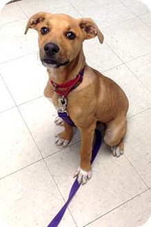 Labrador Retriever/German Shepherd Dog Mix Puppy for adoption in Lowell, Massachusetts - Max