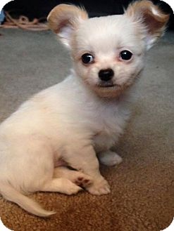 Pomeranian/Chihuahua Mix Puppy for adoption in Barriere, British Columbia - Razzle - ADOPTION PENDING