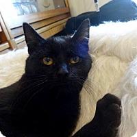 Adopt A Pet :: Amber - Colmar, PA